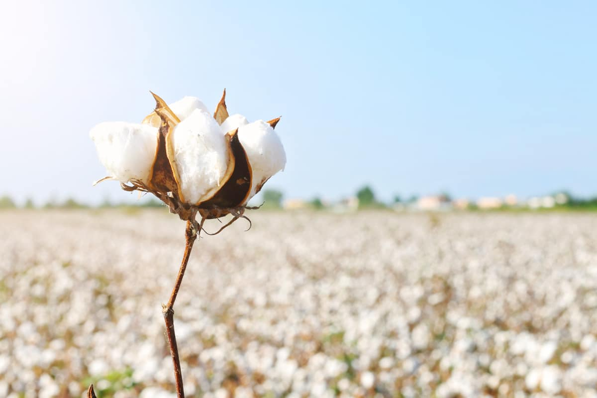 A Cut Above The Rest - Sustainable Cotton