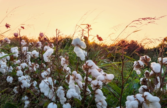 Why Choose Organic Cotton